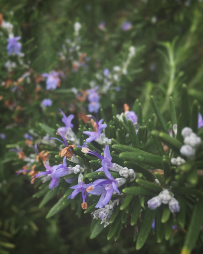 An Ode To Rosemary