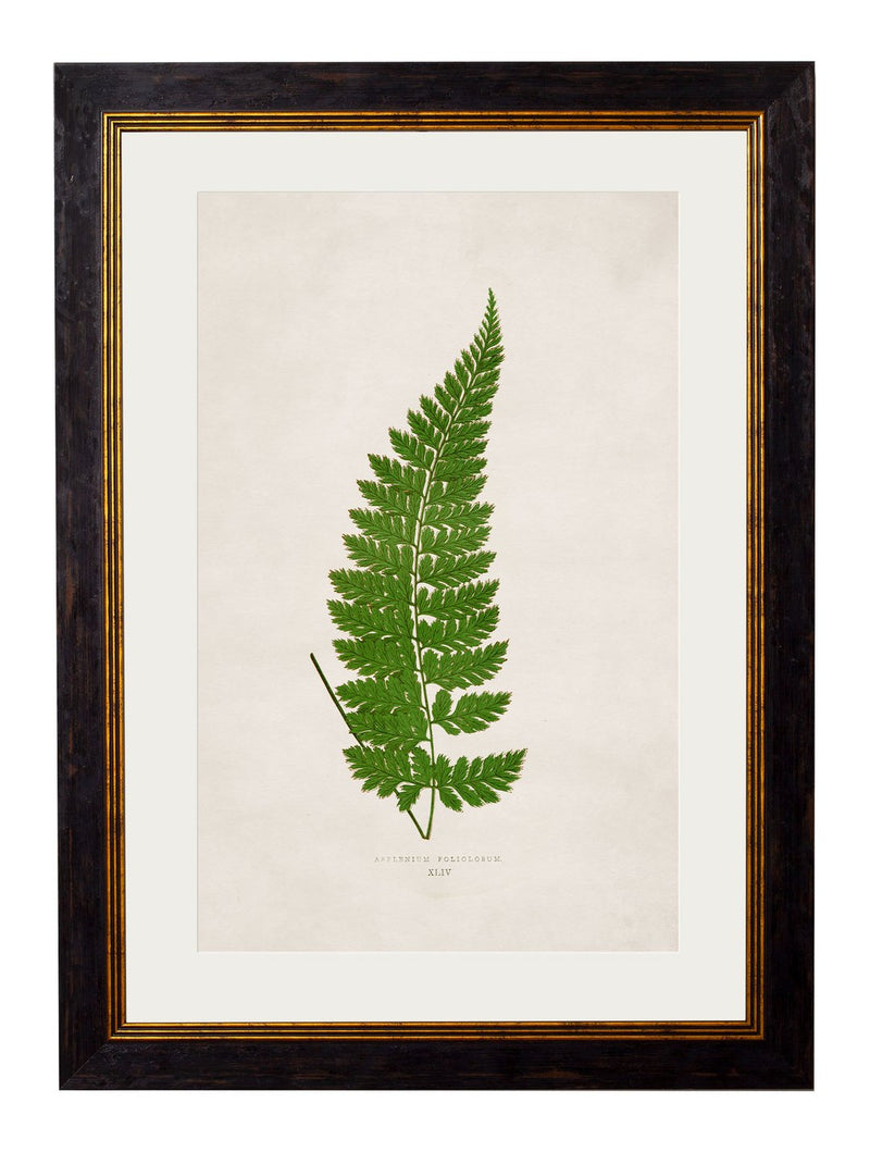 Framed British Fern Prints - Referenced From Botanical 1800s Illustrations