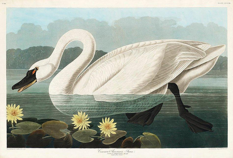 Common American Swan from Birds of America Poster Illustration Print On Canvas, Wall Hanging Decor Picture.Vintage FrogPictures & Prints