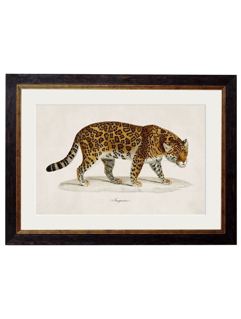 Framed 1836 Jaguar Print - Referenced from an 1800s Hand-Coloured PrintVintage FrogPictures & Prints