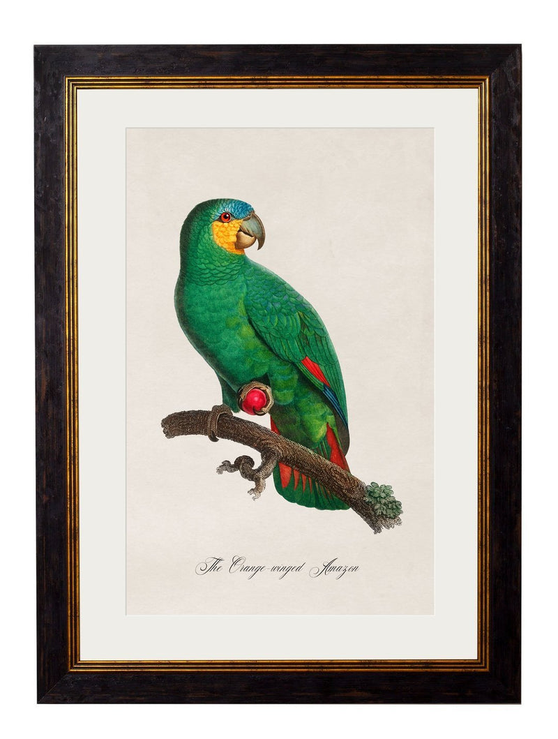 Framed Collection of Parrot Prints - Referenced from French 1800s Hand-Coloured PrintsVintage FrogPictures & Prints