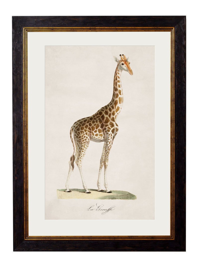 Framed Giraffe Print - Referenced from an 1800s French IllustrationVintage FrogPictures & Prints