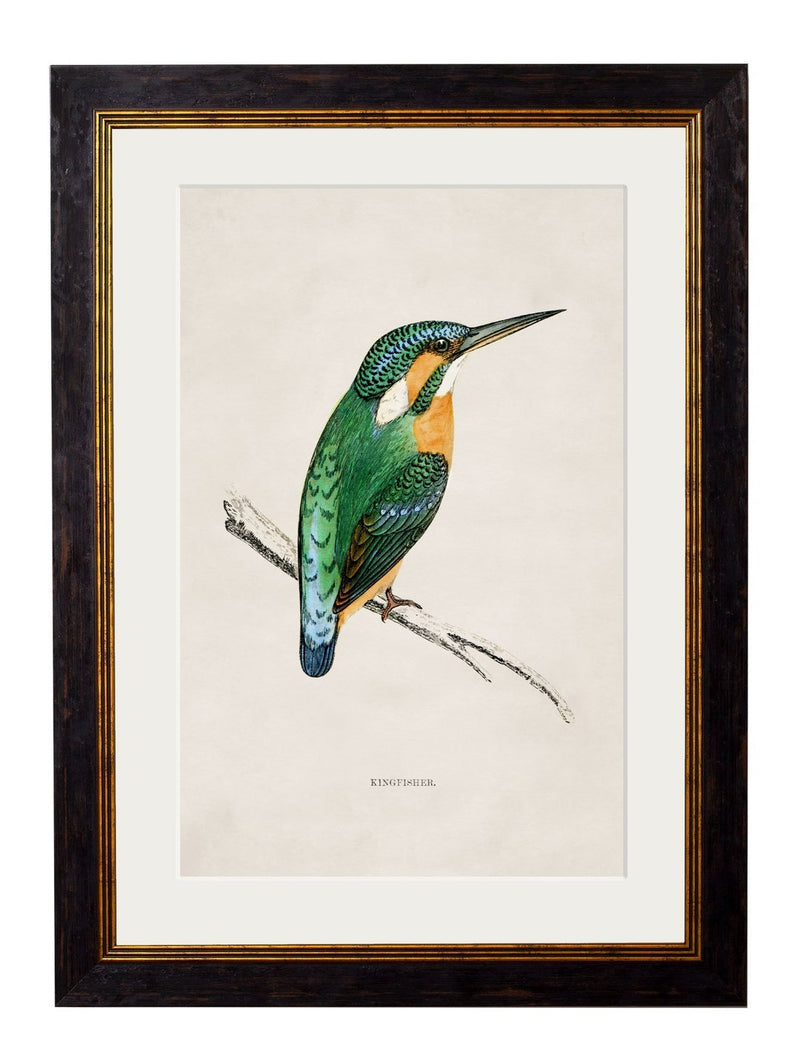 Framed Kingfisher Print - Referenced From An 1800s British Natural History IllustrationVintage FrogPictures & Prints