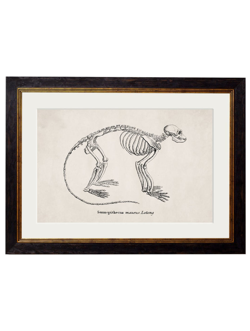 Framed Studies of Anatomical Skeletons - Referenced From Collections of Skeleton Engravings From the 1800sVintage FrogPictures & Prints