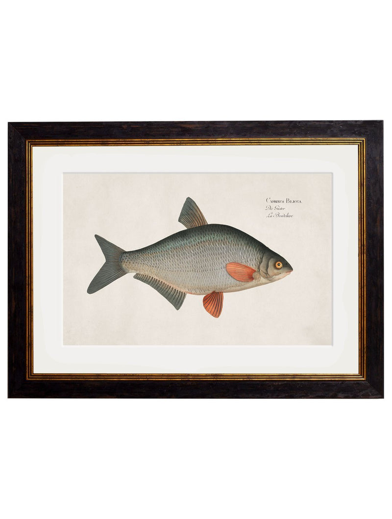 Framed Studies of Fresh Water Fish - Referenced From Beautiful French 1700s PrintsVintage FrogPictures & Prints