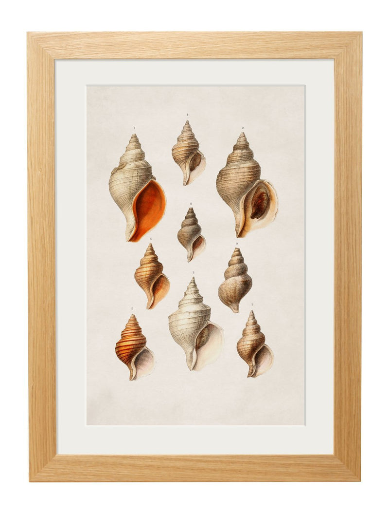 Framed Studies of Shells Prints - Referenced From Beautifully Illustrated Nautilus Sea ShellsVintage FrogPictures & Prints