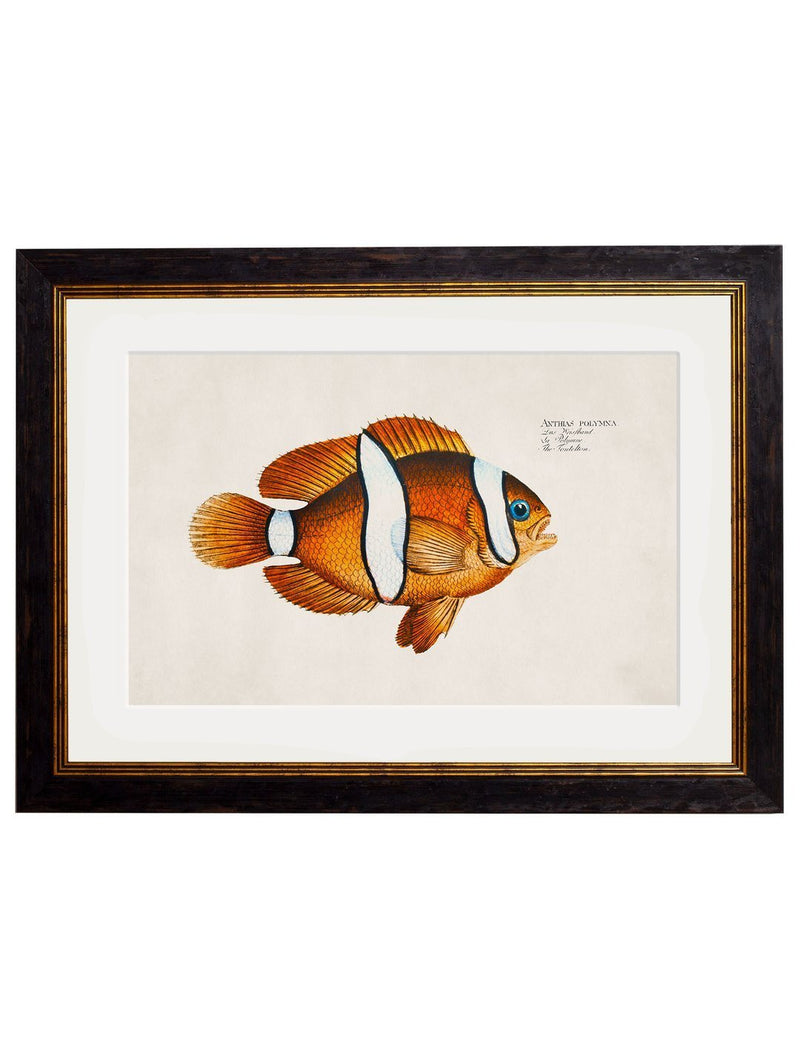 Framed Studies of Tropical Fish - Referenced From Beautiful French 1800s PrintsVintage FrogPictures & Prints