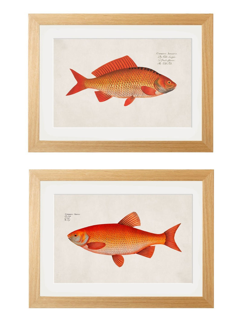 Framed Study of Goldfish Prints - Referenced From a 1700s Hand Coloured French PrintVintage FrogPictures & Prints