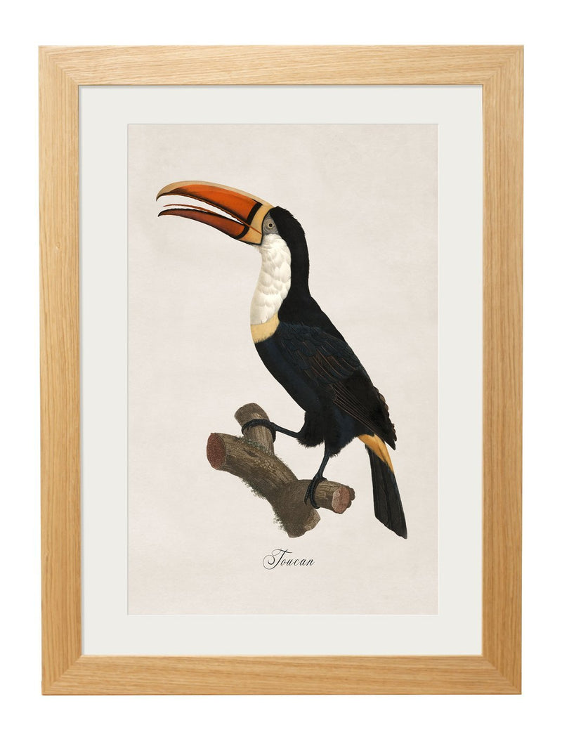 Framed Toucan Prints - Referenced From Hand Coloured 1800s French PrintsVintage FrogPictures & Prints