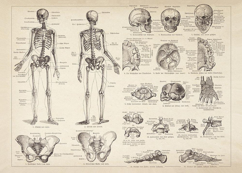 Human Skeleton Science Anatomy Illustration Print On Canvas, Wall Hanging Decor Picture.Vintage FrogPictures & Prints