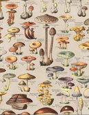 Mushrooms, Classic Vintage Mushroom Illustrated Chart by Adolphe Millot - 1900s Artwork Print. Framed Wall Art PictureVintage Frog T/APictures & Prints