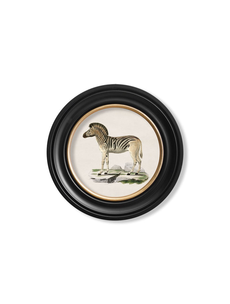 Round Framed 1836 Zebra Print - Referenced from an 1800s Hand-Coloured PrintVintage FrogPictures & Prints