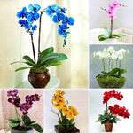 50 PCS Grains Phalaenopsis Seeds Butterfly Orchid Decoration Potted Flower Seeds