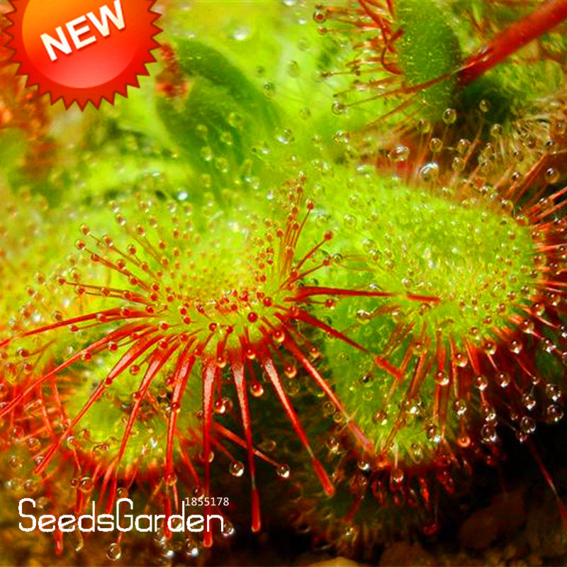 50 pcs New Arrival!Small Patties Sundew Plant Plantas Bonsai Novelty Plants Fresh Cordyceps floresling DIY Home Garden