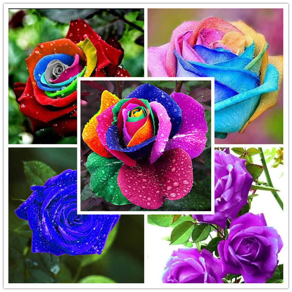 100PCS Rainbow Rare Multi Color Rose Flowers Seeds🔥 ON SALE 🔥