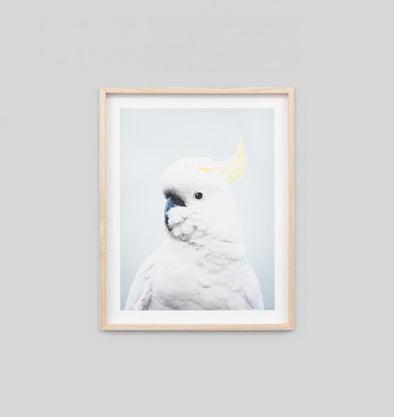 Cockatoo Blue