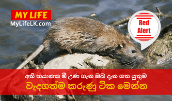 What is the Deadly Rat Fever? - My Life