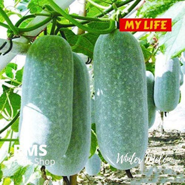 (Retail & Wholesale) Winter Melon Puhul by RMS Fruit Shop - RMS Fruit Shop - mylife-sa.myshopify.com