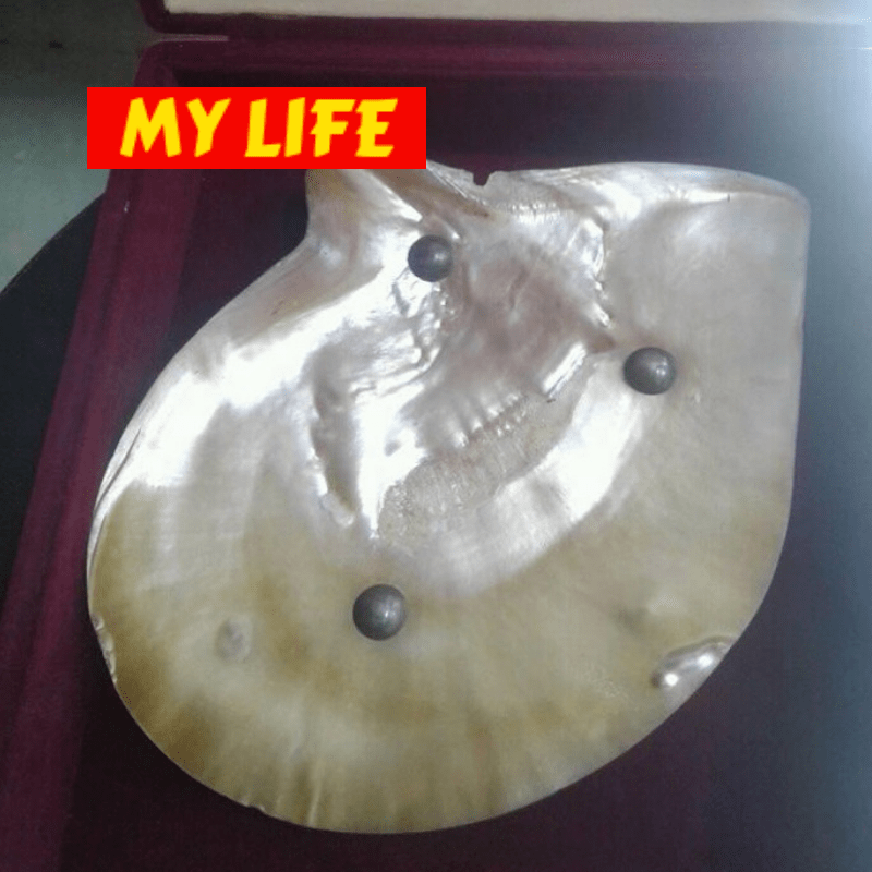 (Special Ad) Very Rare Natural Pearl Oyster - My Life - mylife-sa.myshopify.com