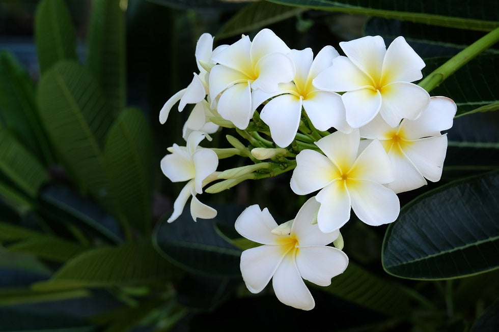 Benefits of plumeria on skin