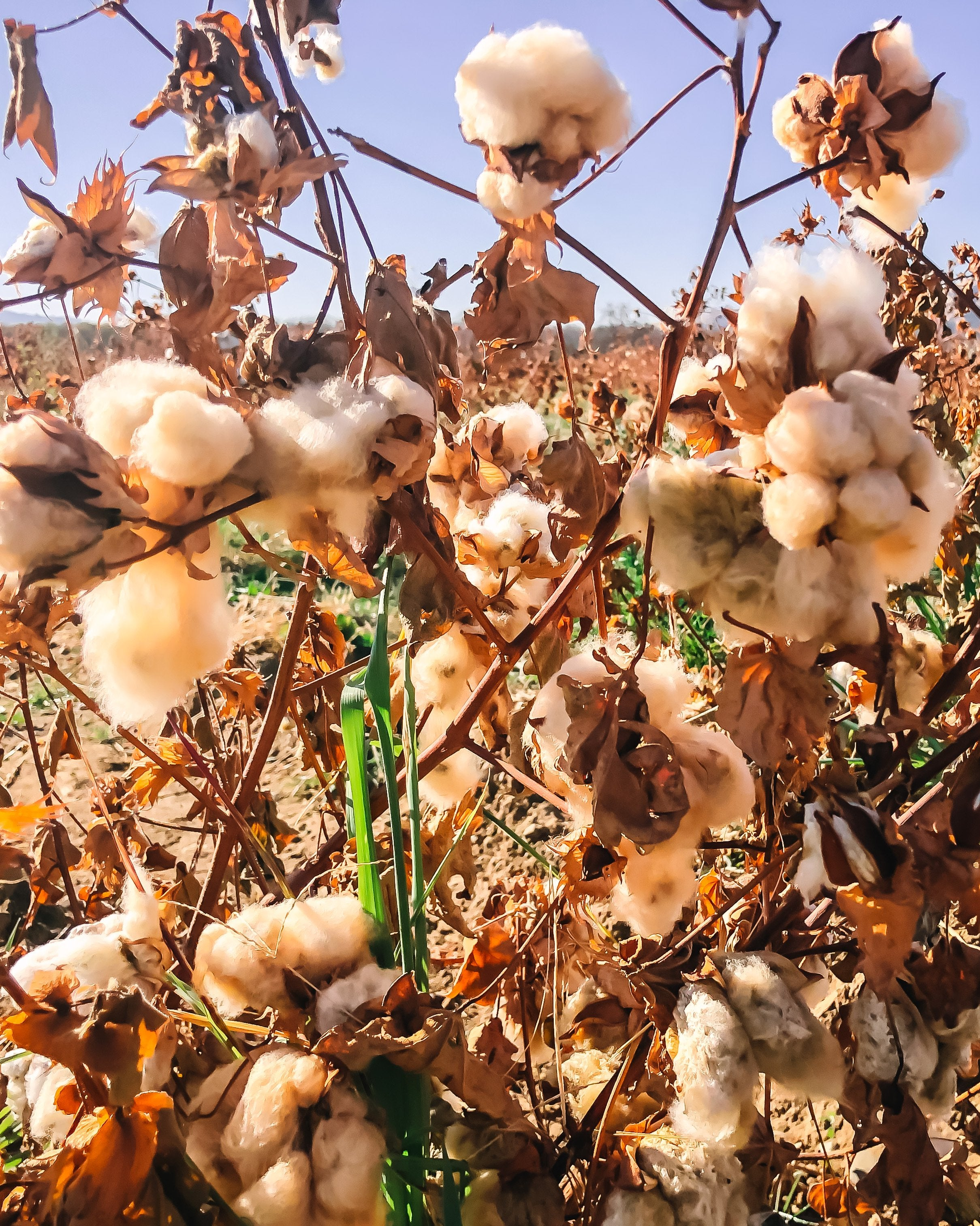 Danu-organic-cotton-linen-colorgrown-natural-undyed-cooperativelygrown-sustainable-ethical-regenerative-1