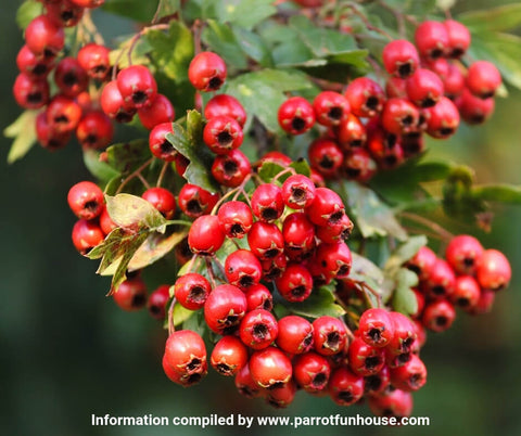 Safe fruits for birds hawthorn berry