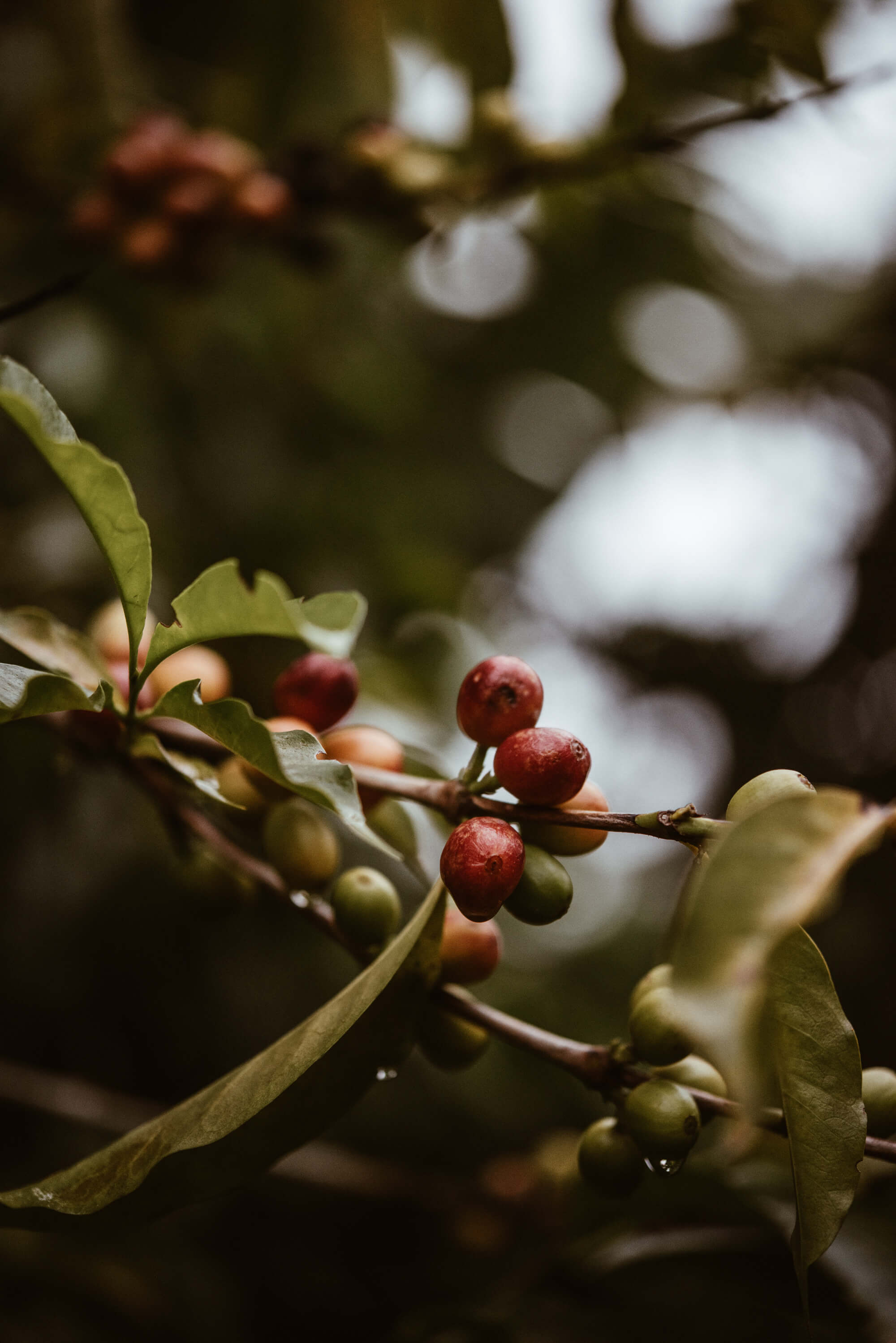 Coffee plant with coffee cherries.