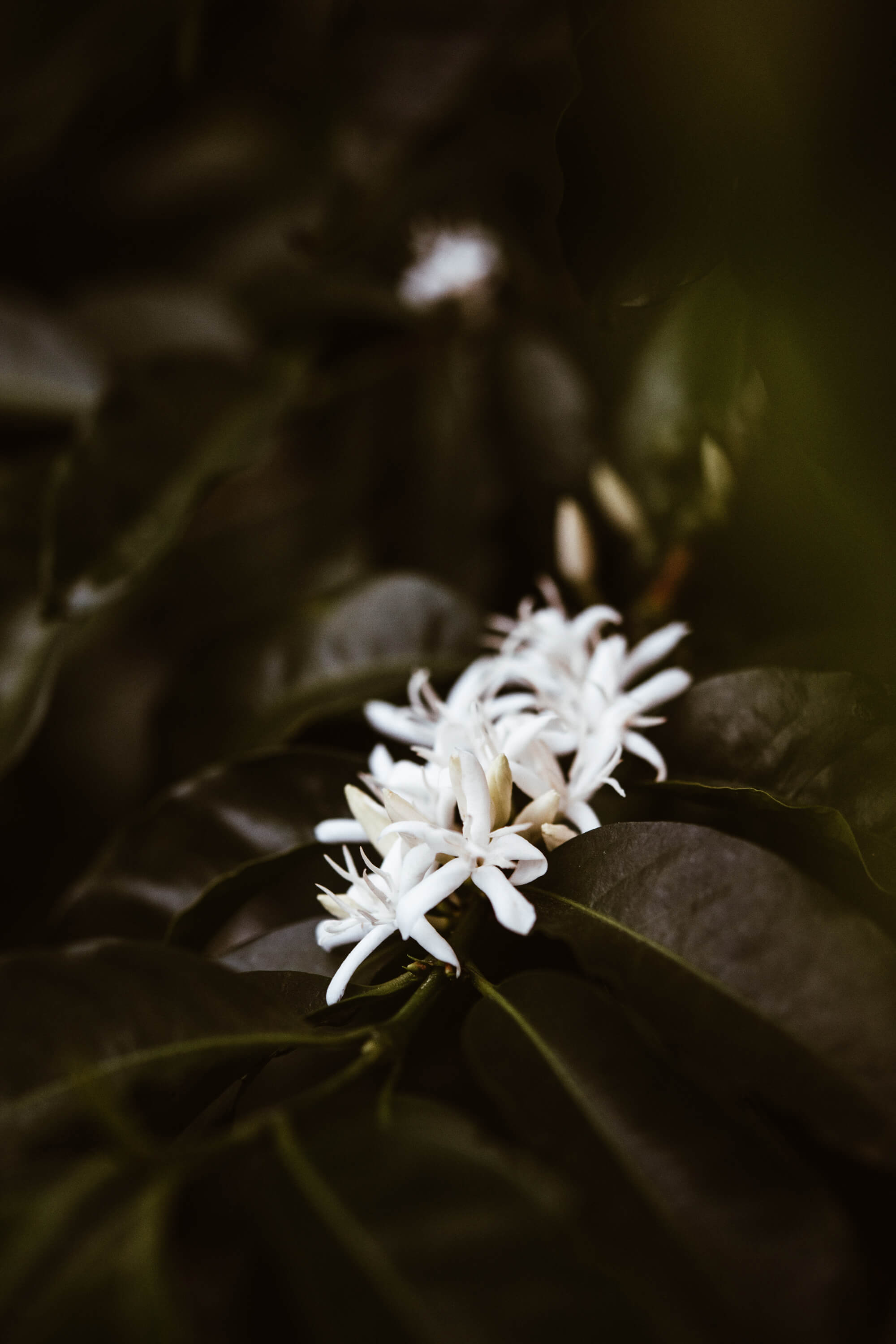 Coffee plant with white flowers.