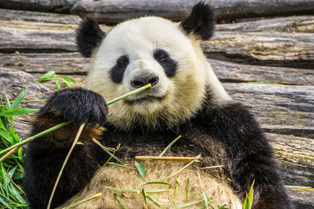 Amazing Bamboo: More Than Just a Panda Snack