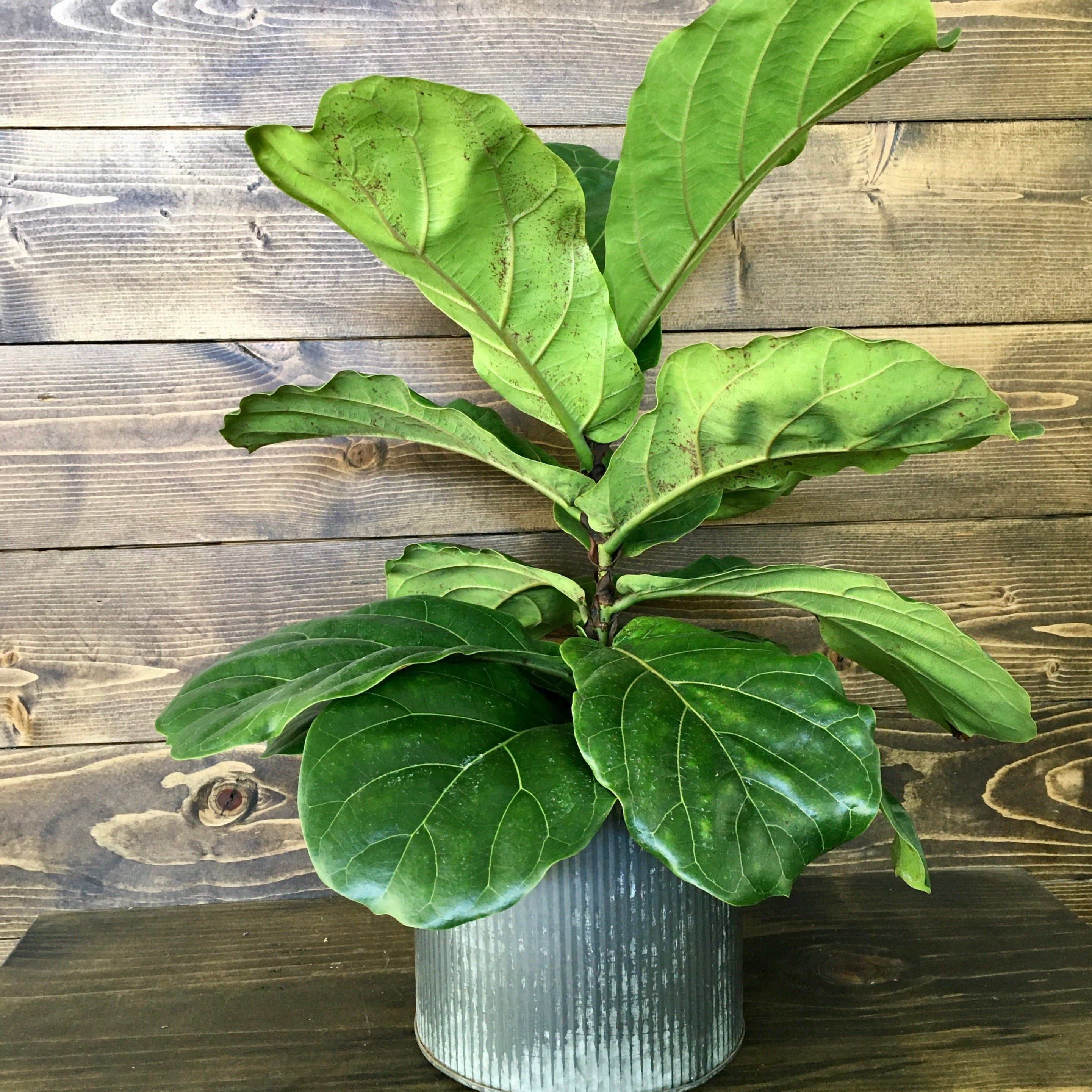 fiddle leaf fig plant mothers day delivery clovis ca