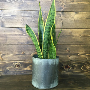 snake plant for mothers day clovis ca