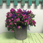 Azalea in Tin Planter