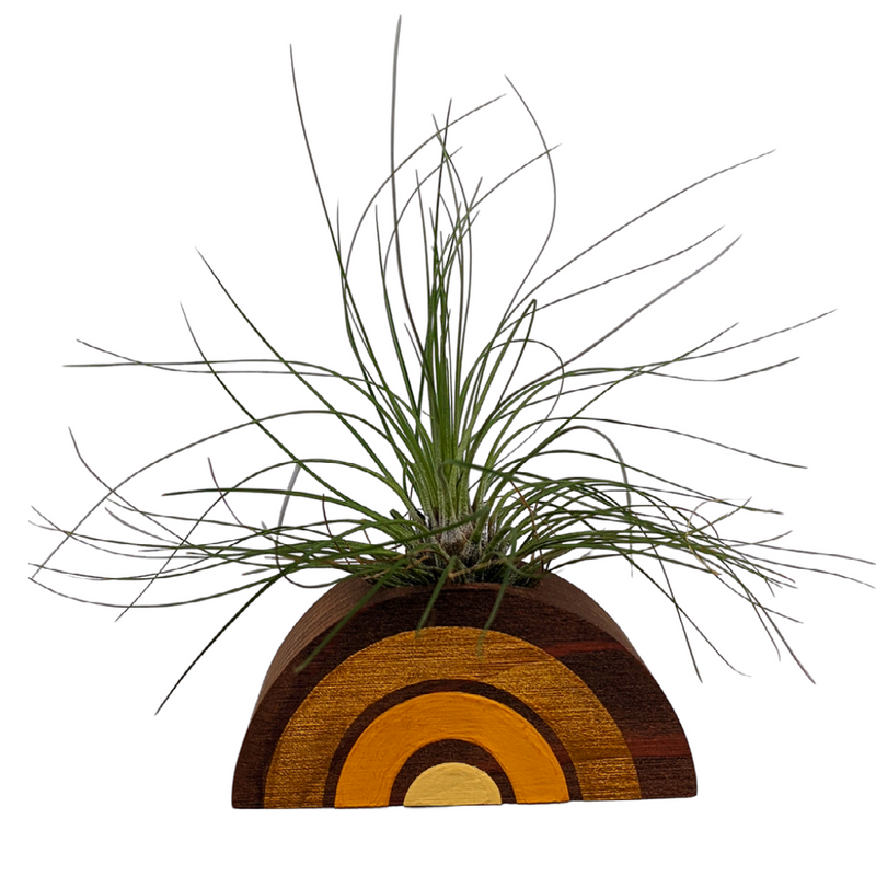 Tillandsia Filifolia Air Plant With Handmade Rainbow Holder