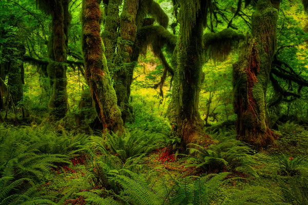 The Hoh Rainforest