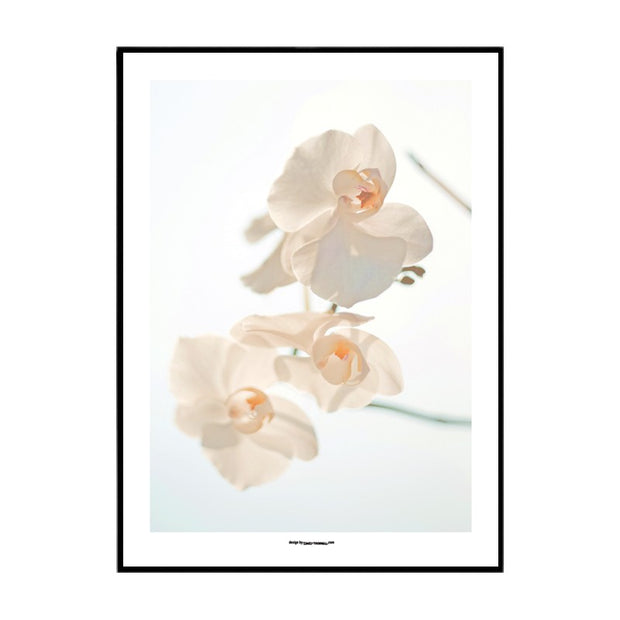 White Moth Orchid Poster