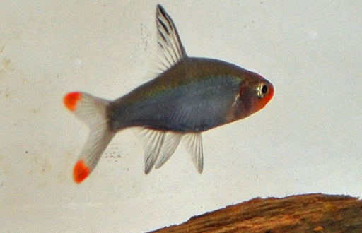 Asian Rummy Nose Rasbora lg
