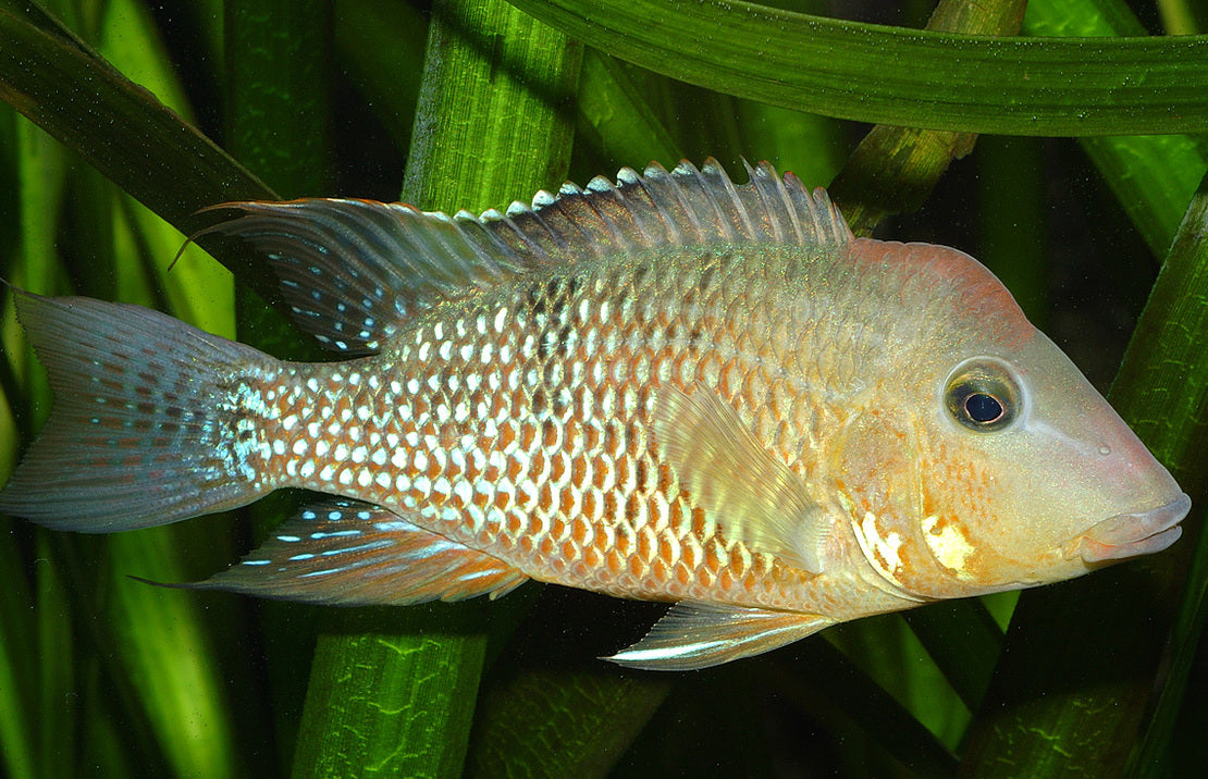 Geophagus Red Hump 1.75 inch