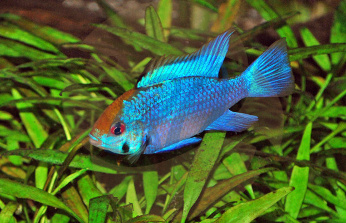 Electric Blue Ram m/l