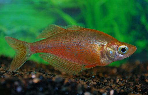 New Guinea Red Rainbow xl