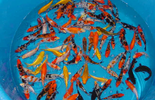 Assorted Japanese Koi Grade A 3-4 inches