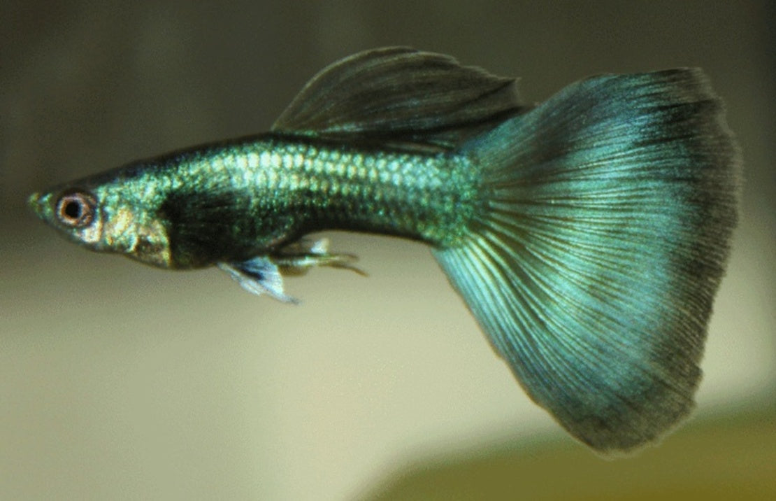 Guppy Male Green Moscow m/l