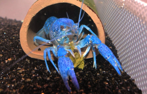 Electric Blue Claw Lobster 2-2.5 inch