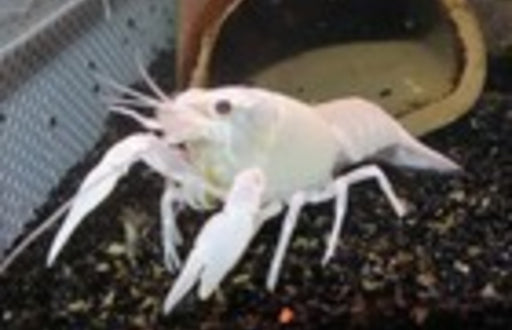 Electric White Lobster 2 inch