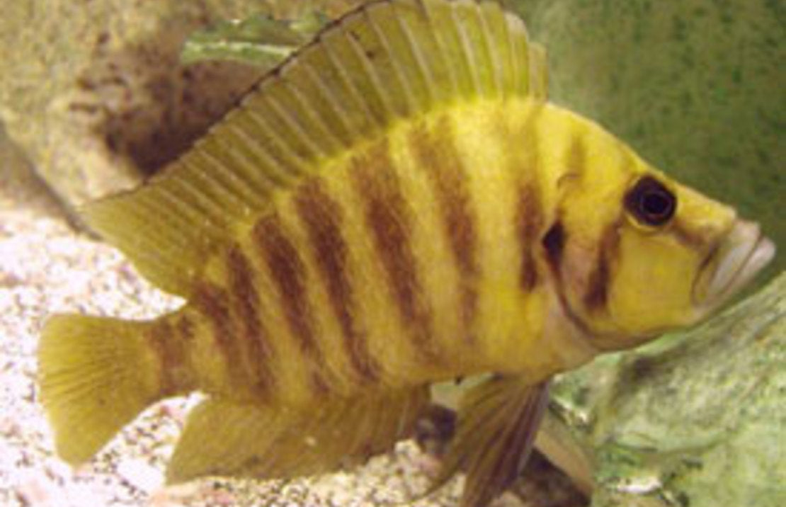 Gold Head Compressiceps 2 inch