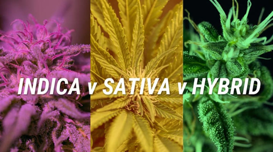 INDICA VS SATIVA: WHAT'S THE DIFFERENCE BETWEEN CANNABIS TYPES?
