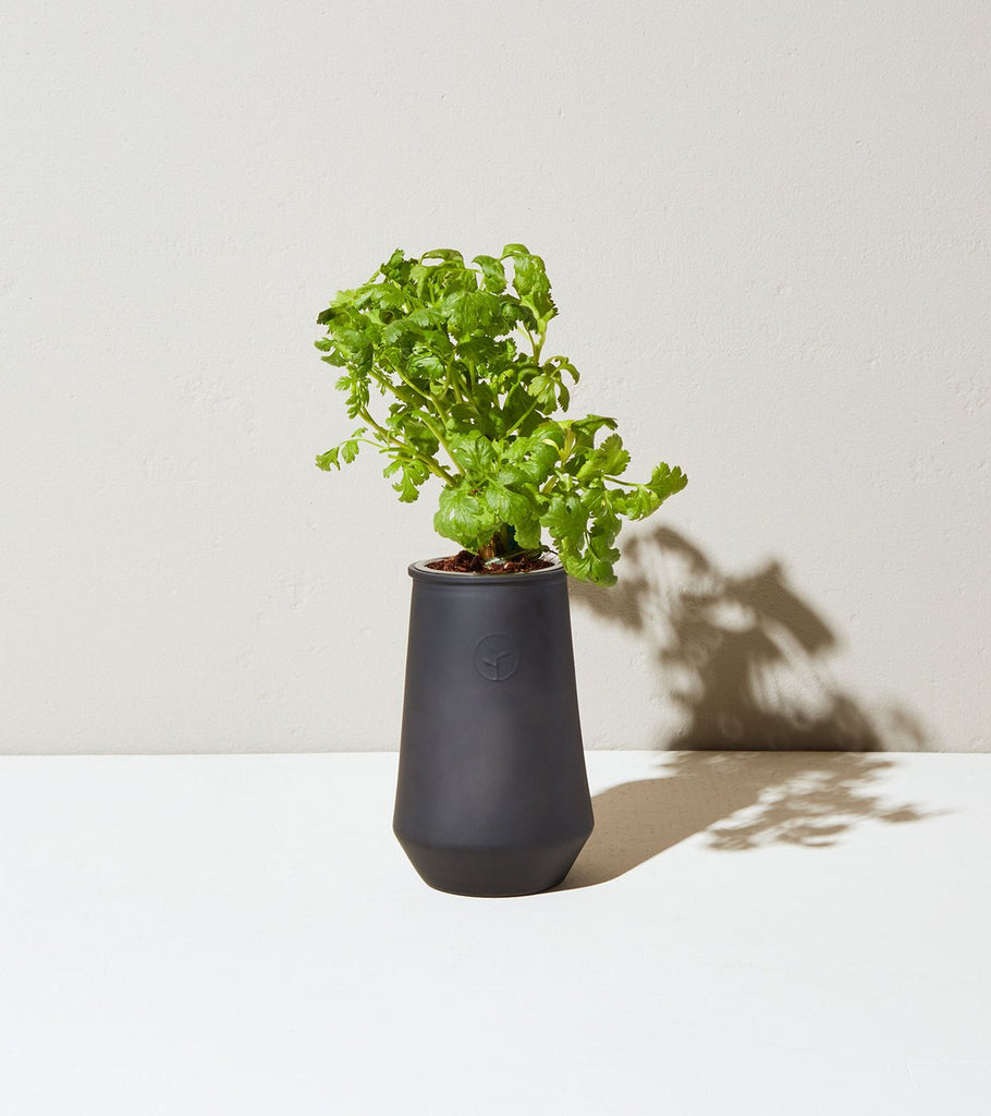 Black Glass Cilantro Indoor Garden Kit