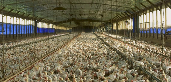 These US Chicken Farms Are So Dirty, Meat Must Be Washed With Chlorine Before Being Sold for Human Consumption!