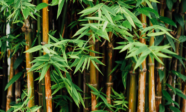 bamboo plant forest