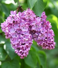 Lovely Lilac™