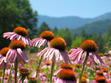 Load image into Gallery viewer, Herb Pharm Super Echinacea Plant